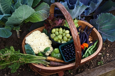 August 2013 brings us cauliflower, gooseberries, black currants and purple french beans and carrots.