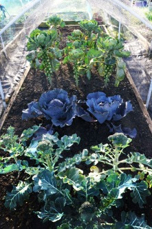 Brassicas winter
