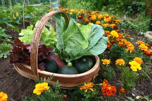 We start in June 2013. Round courgettes, cabbages and lettuce.