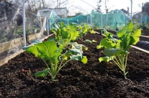 Cauliflower plants have been over-wintering in my green house.