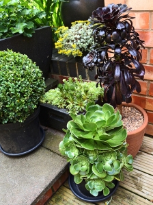 Drama in the form of a black Aeonium.
