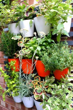 Funky pelargoniums spice up the herb rack