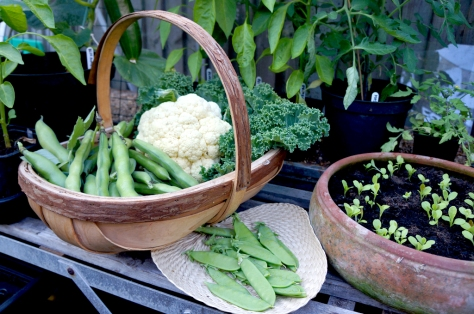 First trug full od broad beans, cauliflower, kale and mange tout. Very proud!