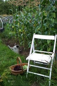 French beans and sweet corn are looking handsom.