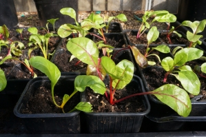 Rainbow chard waiting to be planted out.