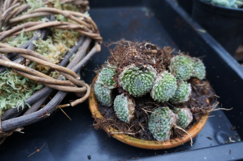 2 Divide succulents into individual plants making sure they have good roots systems. Give them a drink before you start. Then stuff the wreath with moss, packing it in very tightly.