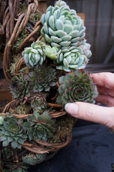 6. Continue filling the holes. Once made, leave flat on its back for a week or so that the roots get a chance to settle. But mine is already on the door!