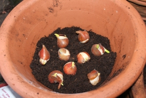 Last minute tulip bulbs get potted up