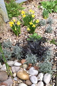 Miniature narcissi brigtens up the gravel.