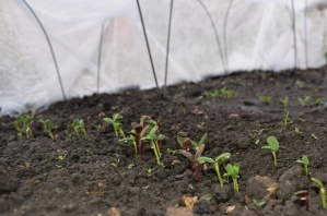 First peek at the cut flower seedlings under their fleecy tent.