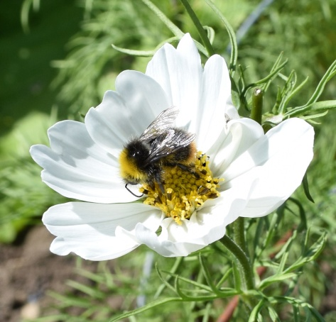 A bee enjoys a snack on a cosmos bloom.