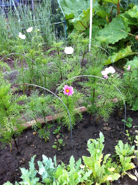 Cosmos are starting to bloom.