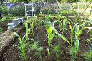 Sweet corn were glad to be planted at last.