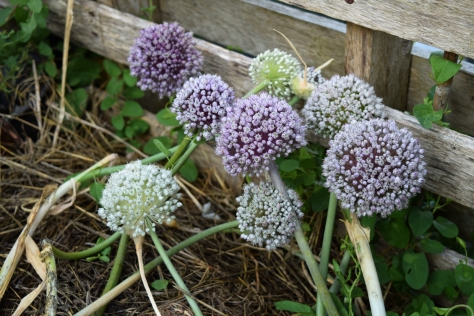 The only thing to flower effortlessly are the leeks in the compost heap!