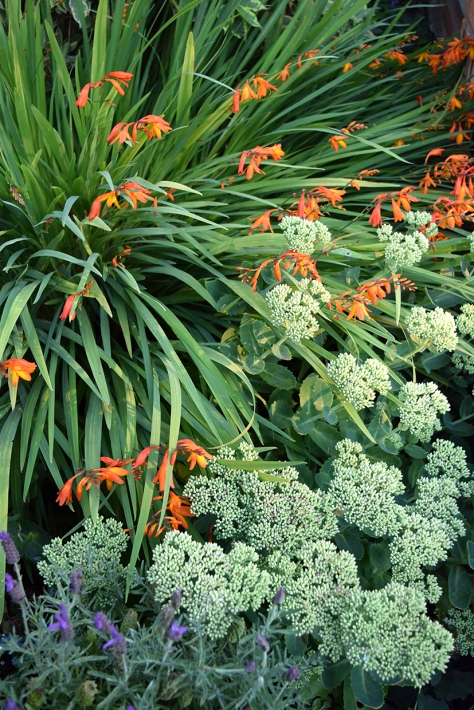Crocosmia and sedum buds looking fab.
