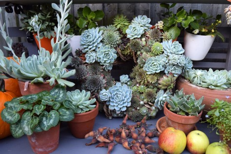 Succulent wreath is thriving well and I love displaying it on the potting bench.
