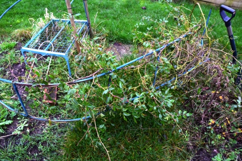 The rambling rose is going to be a devil to untangle.