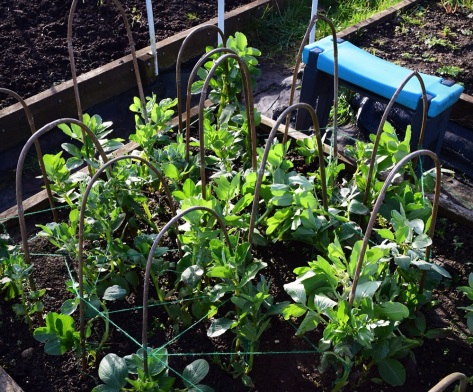 Broad beans, I support you!