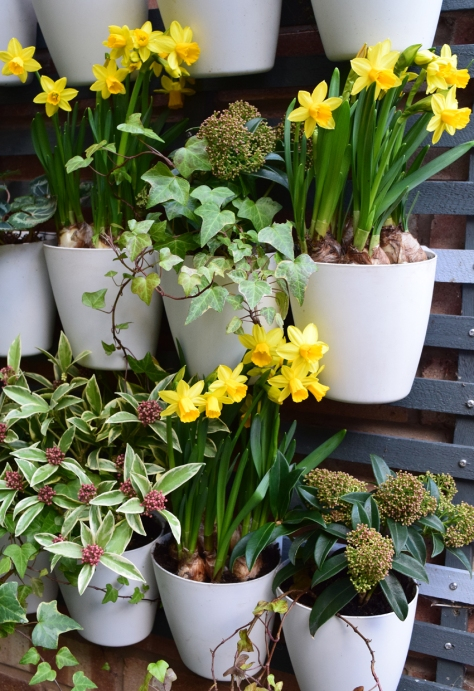 A host of baby daffs, or just a few pots full!
