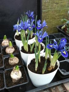Iris Reticulata Gill Lockhart