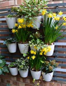 Daffs on wall rack