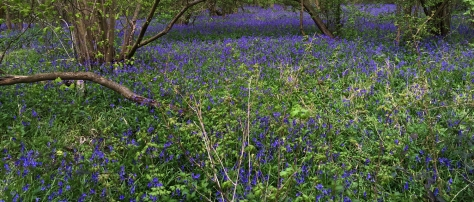 bluebells pic