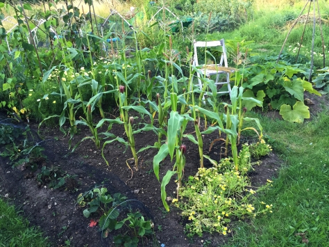 Cosmos Xanthos, sweetcorn and poached egg plant is my yellow theme this year