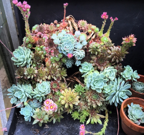 The succulent wreath is nearly two years old. She a bit delicate now and lives in the greenhouse