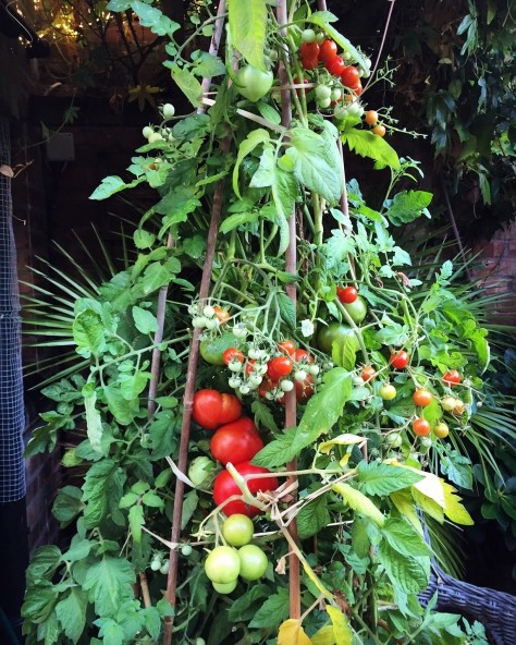 A muddle of tomatoes have been lovely this season